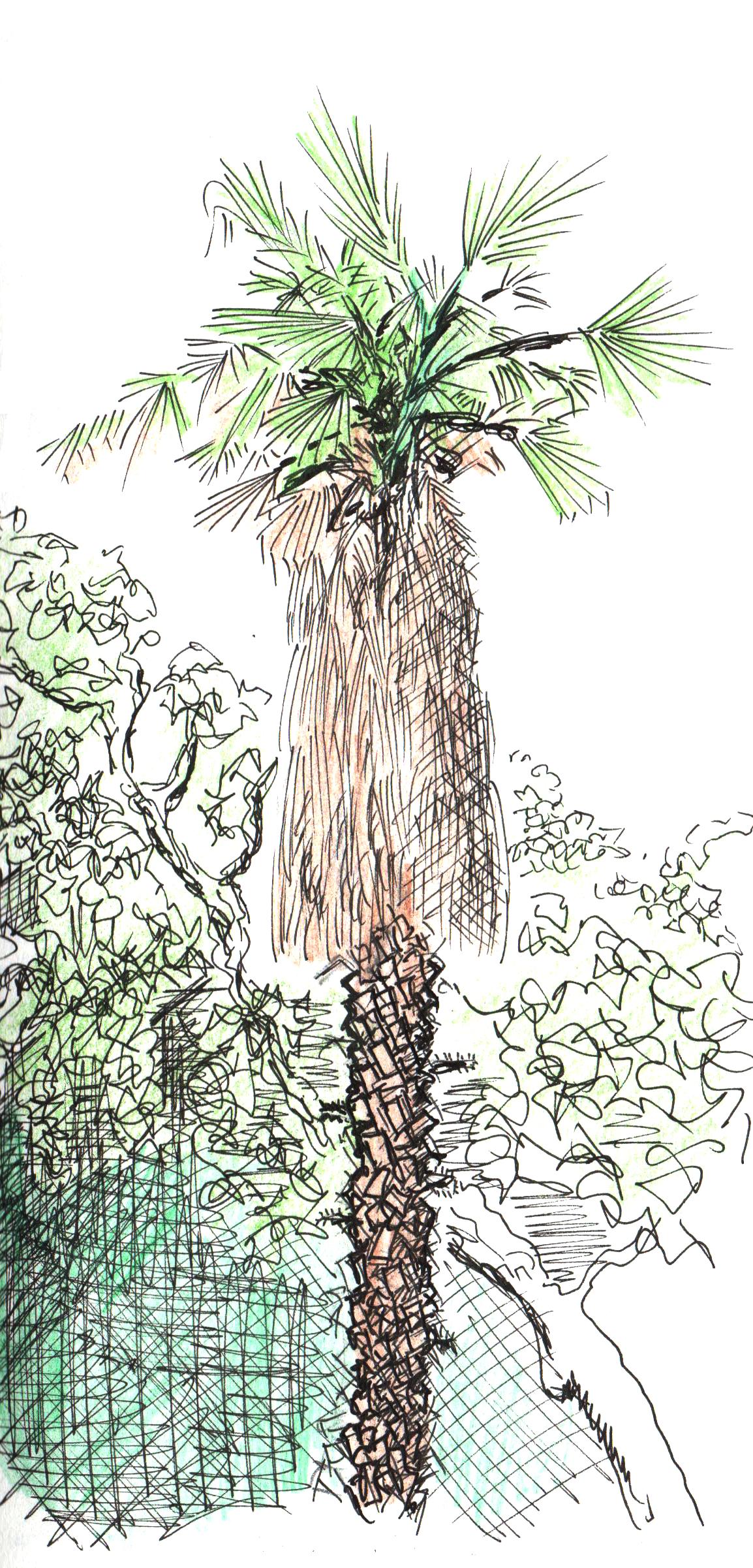 Palmier d'Argeles de Marc